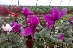 flori de ghiveci