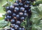 arbusti-fructiferi-de-gradina-coacaz