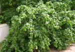 arbusti-fructiferi-de-gradina