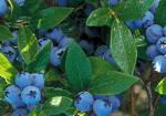 arbust-fructifer-afinul