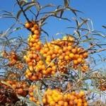 arbusti-fructiferi-catina-alba