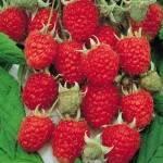 arbusti-fructiferi-domesticiti-zmeur