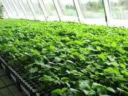 plantarea-rasadurilor-2