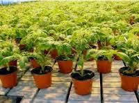 rasaduri-de-legume-1