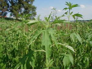 plante-alergene-1