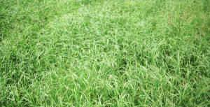 plante-alergene-2