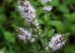 plante-medicinale-2