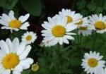 plante-medicinale-3
