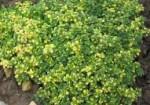 plante-medicinale-5