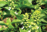 plante-medicinale-7