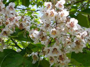 Flori catalpa bignonioides