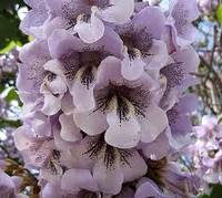 flori-paulownia