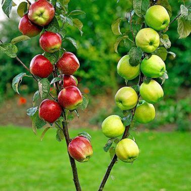 altoirea-pomilor-fructiferi