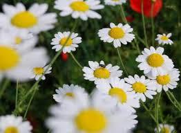 plante medicinale cultivate in gradina