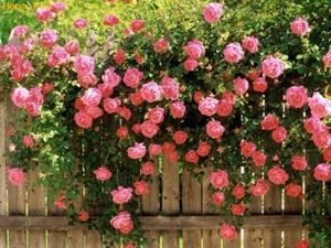 trandafiri in gradina