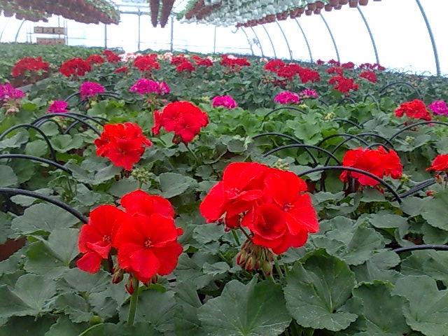 flori in ghivece